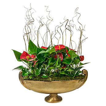 Luludi Living Art Holiday Anthurium Planter