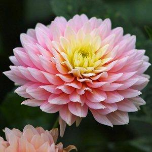 Chrysanthemum (Chrysantheium morifolium)